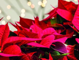 Noel poinsettia etoile de Noel rouge