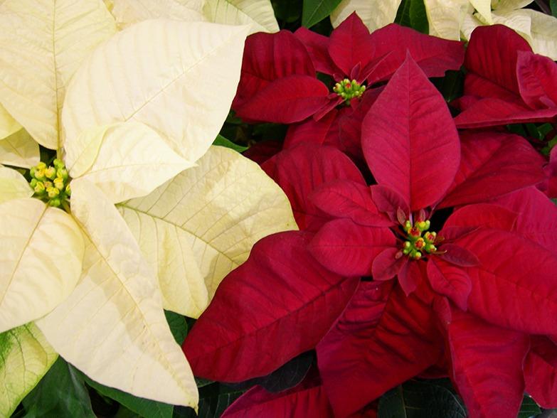 Poinsettia blanc rouge Noel