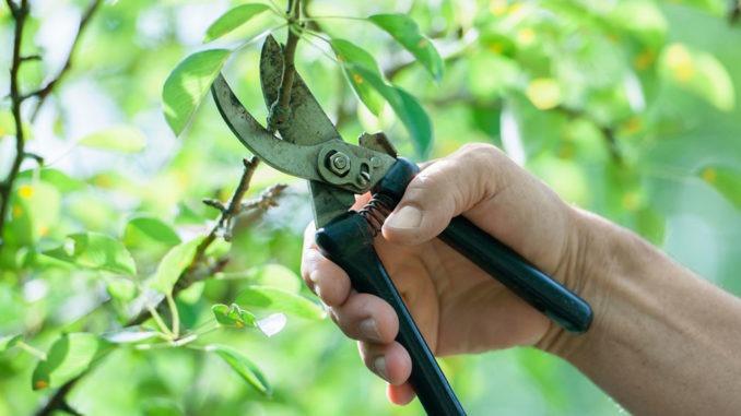 Bouturer arbre fruitier