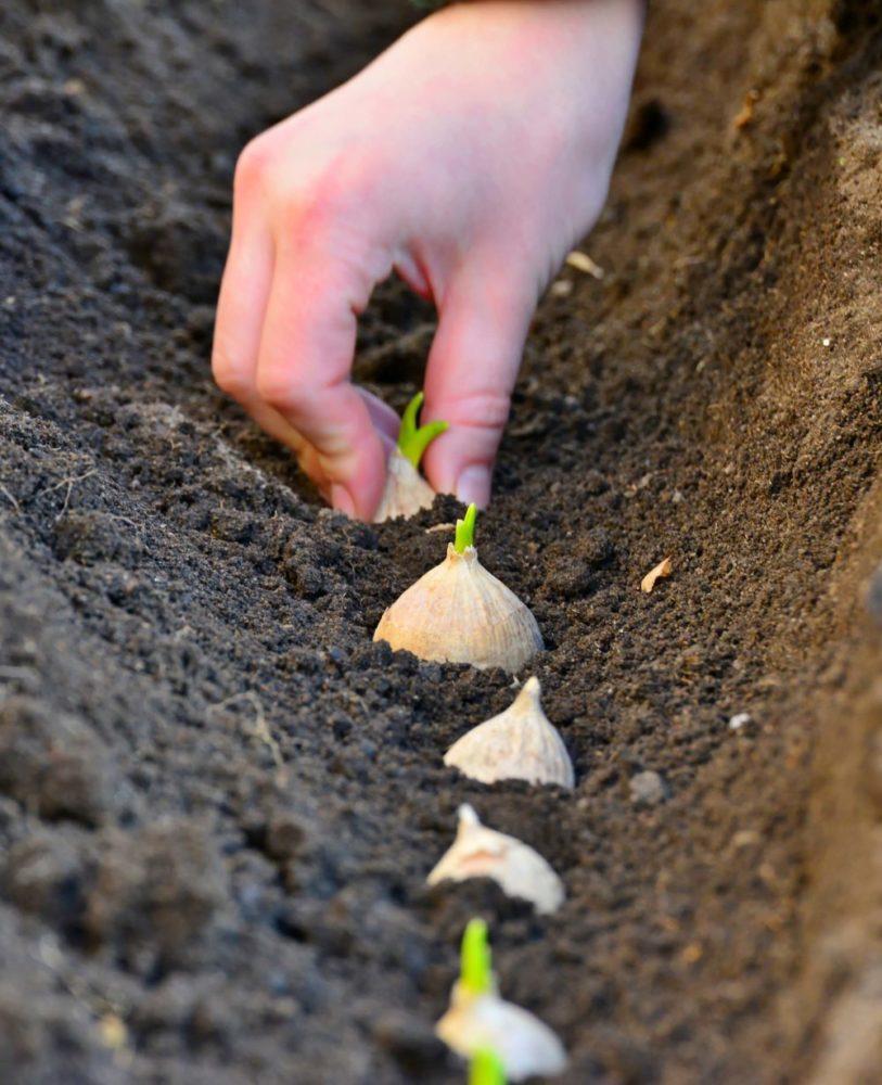Comment Planter De L Échalote planter de l'ail, un jeu d'enfant ! | mon jardin d'idées mon