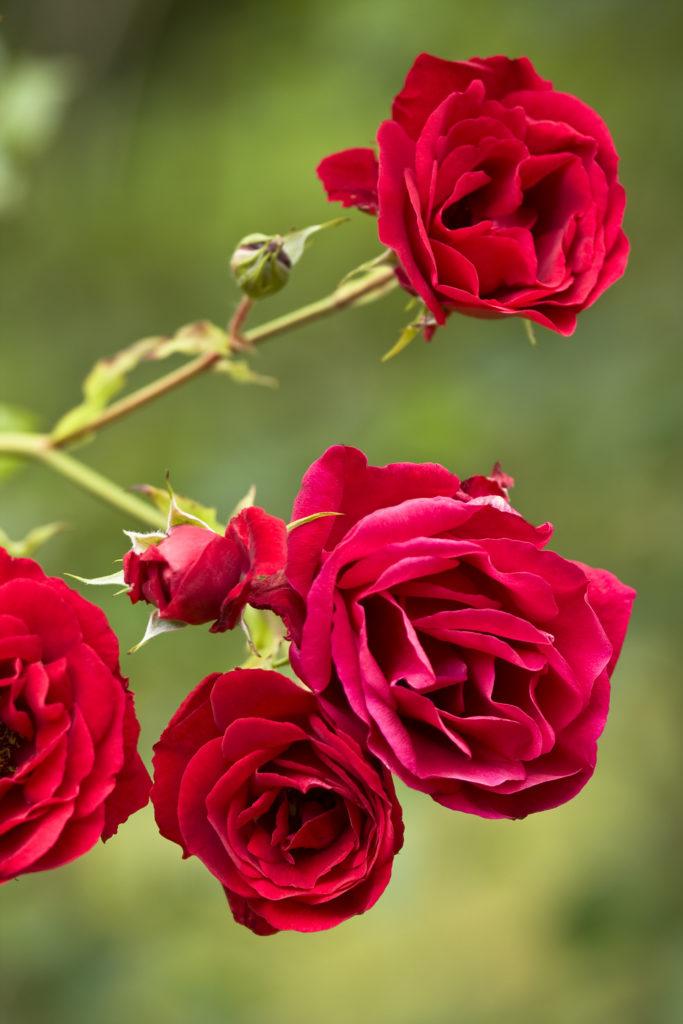 La magie des roses