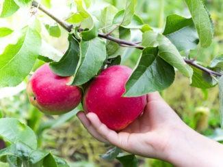 Éclaircir un arbre fruitier