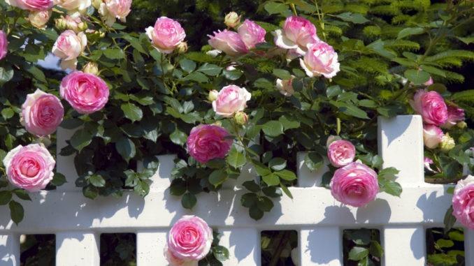 La magie des roses : comment planter un rosier