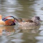 Accueillir des canards