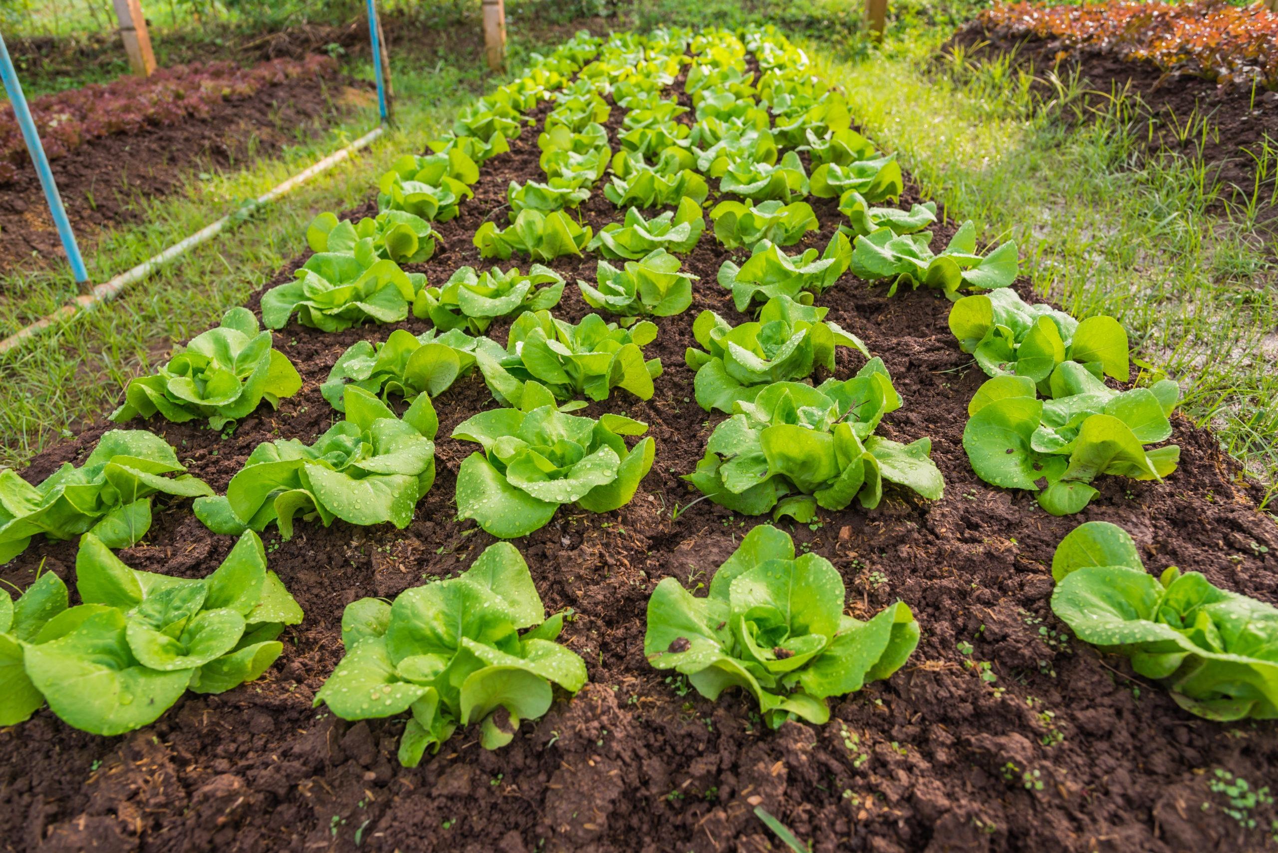 Quelle Salade Planter Maintenant cultiver des plants de laitue | mon jardin d'idées par
