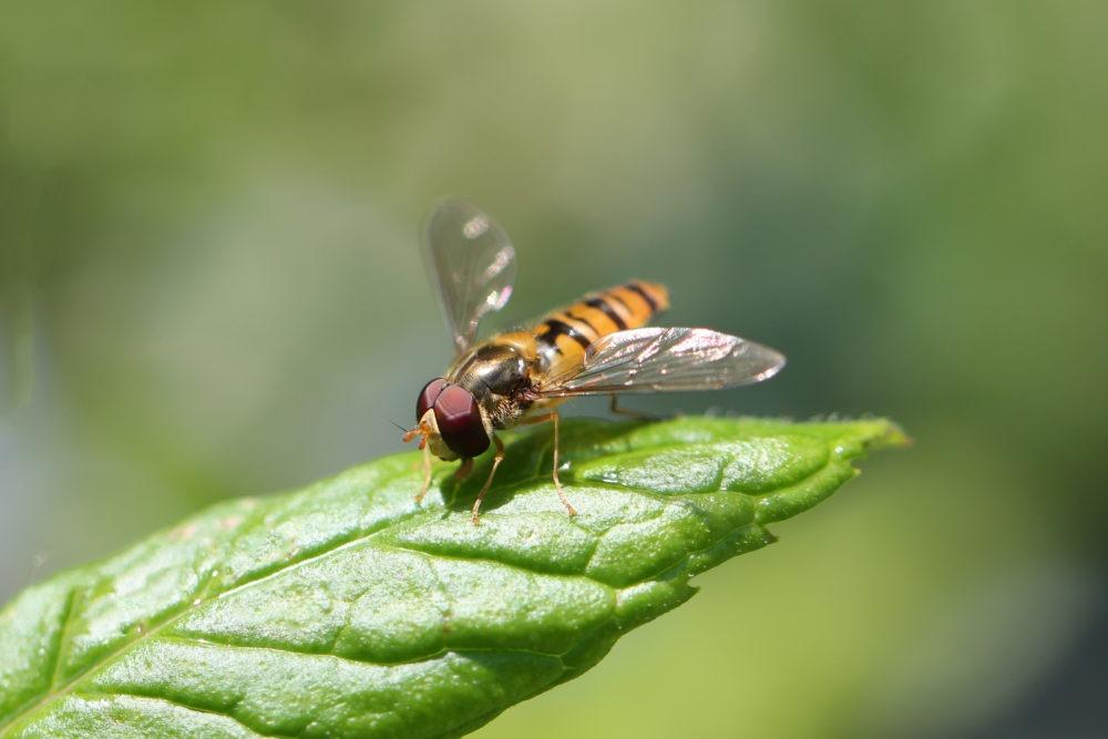 syrphe diptères