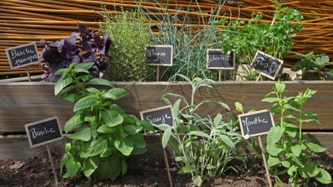Carré d'herbes aromatiques