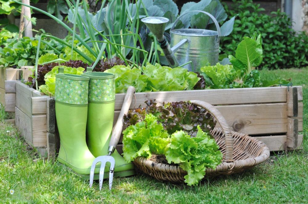 panier de salade près d'un carré potager