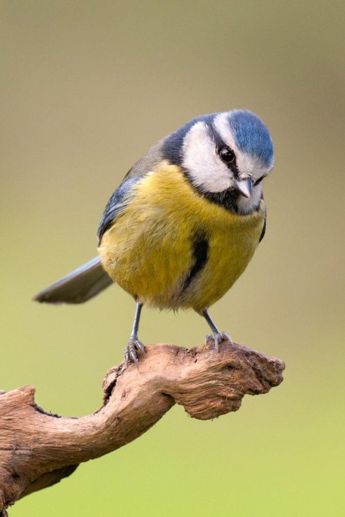 Oiseaux du jardin
