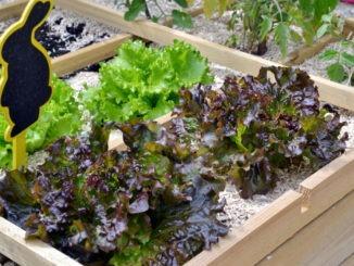 carré potager - plant de salade