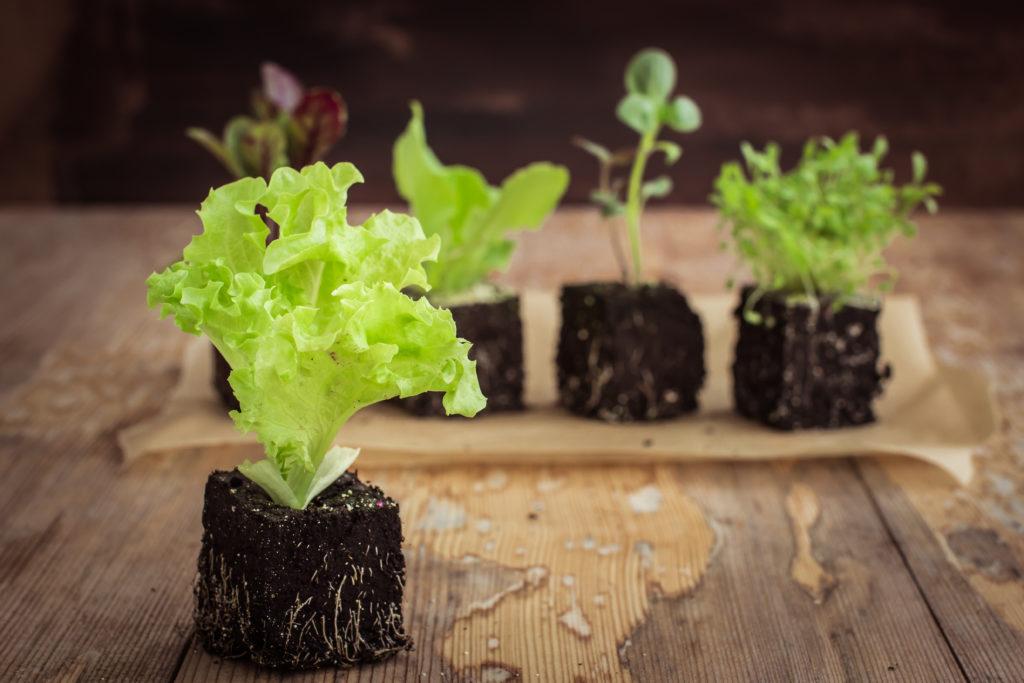 Plants de laitues