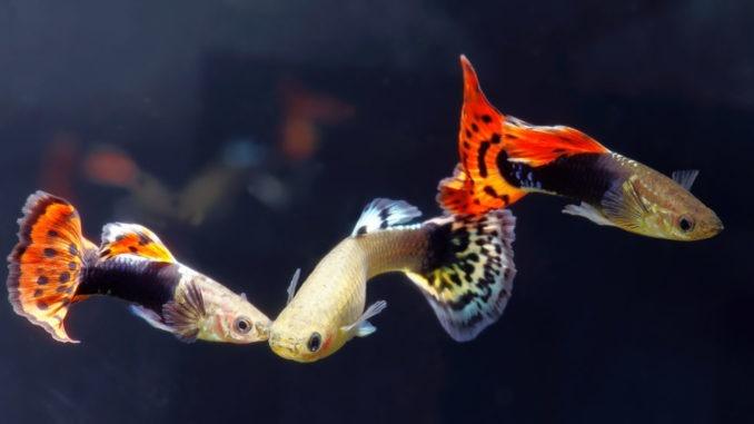 Les poissons faciles à vivre