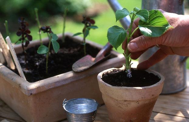 Planter bouture