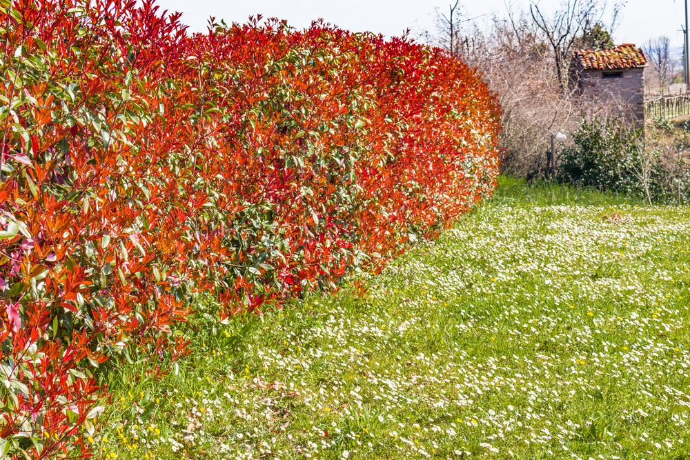 Planter haie photinia red robain