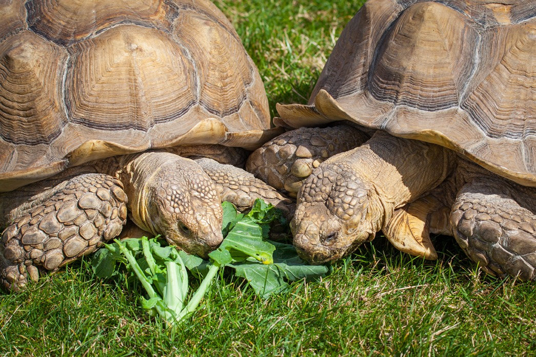 Alimentation tortue