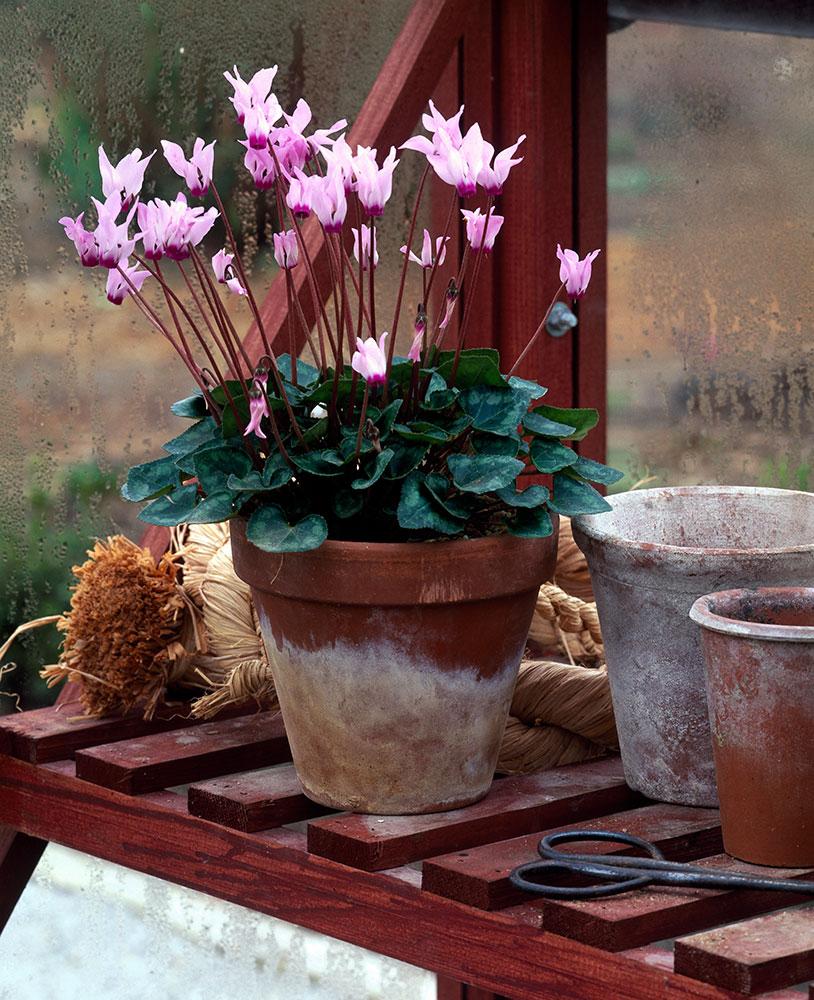 Plante cyclamen