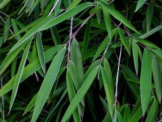 Bambous non traçants