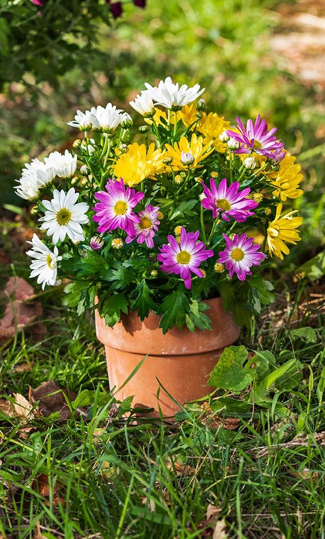 Chrysanthèmes couleurs