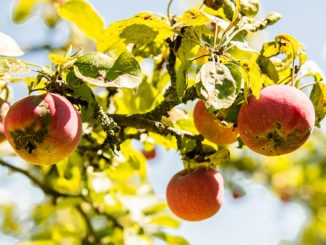 Maladies arbres fruitiers