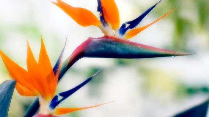 strélitzia oiseau du paradis