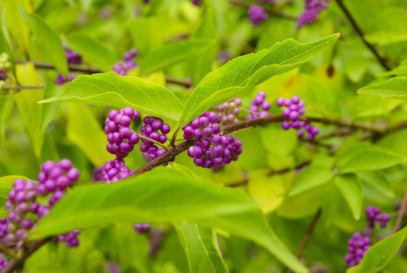 Callicarpa baies violettes