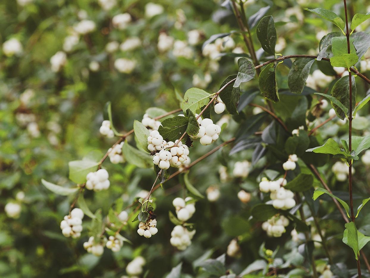 Bac Pour Arbuste De Jardin des arbustes à baies pour colorer l'hiver | mon jardin d'idées