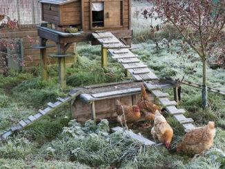 Basse-cour en hiver
