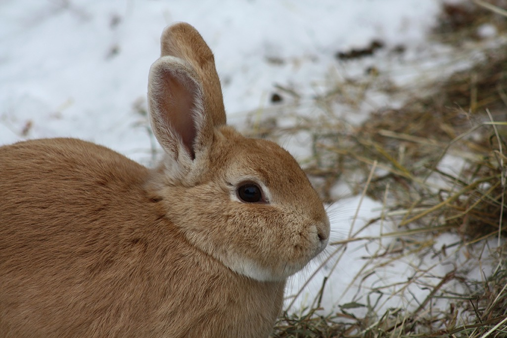 Lapin basse-cour hiver