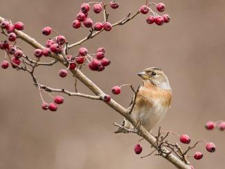 Baies hiver oiseau
