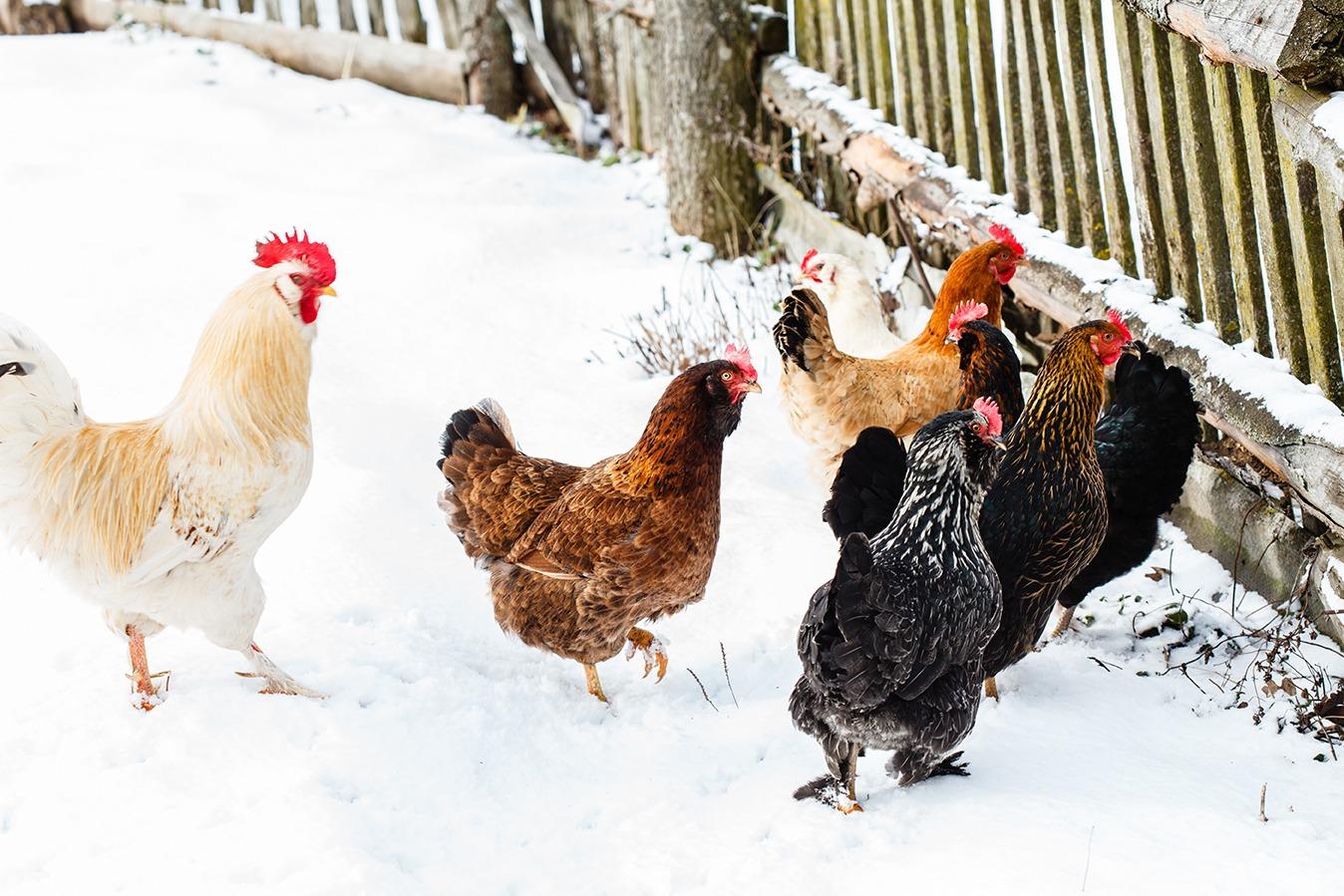 Poules basse-cour hiver