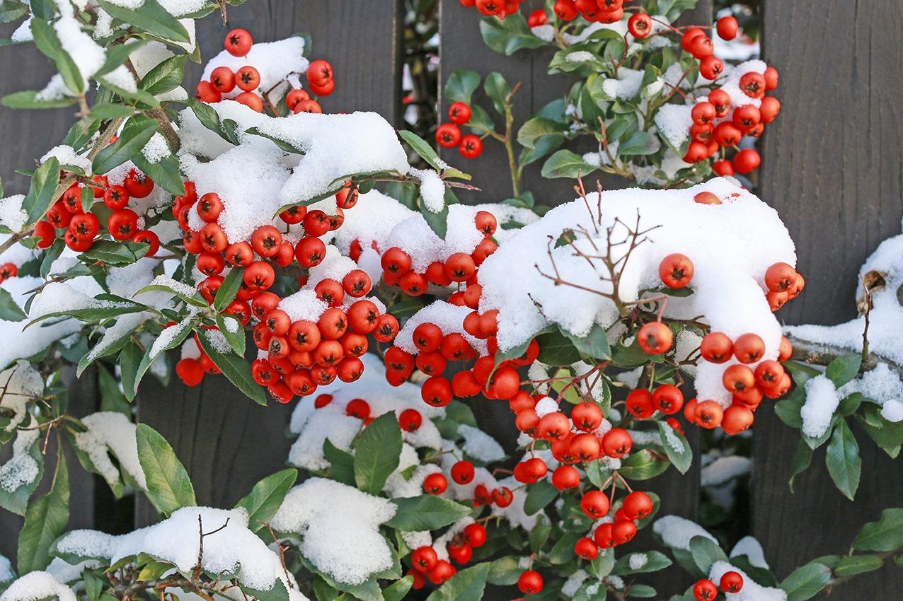Pyracantha neige