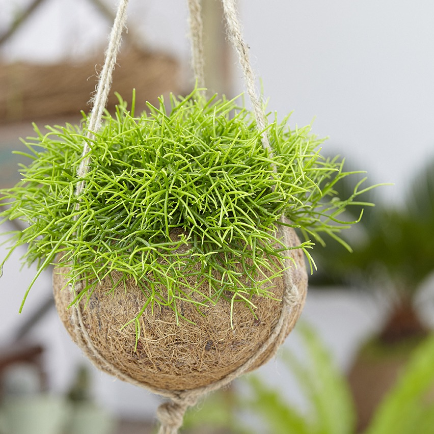 Rhipsalis cassutha en suspension