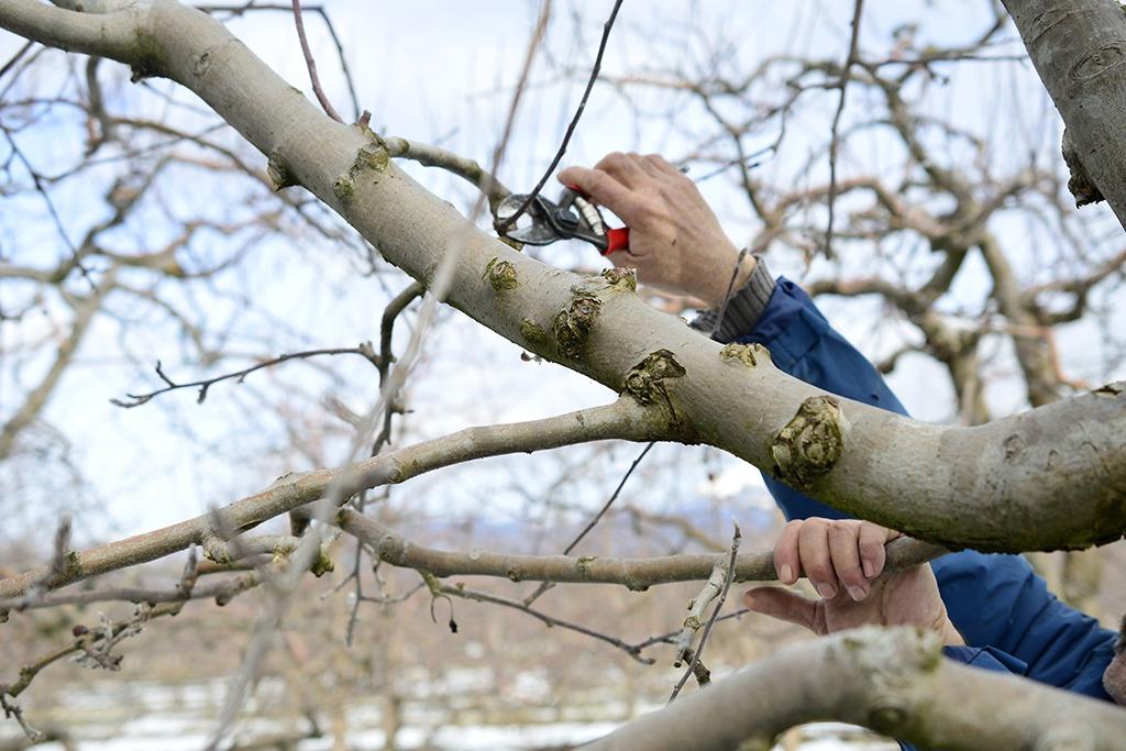 Tailler arbre fruitier