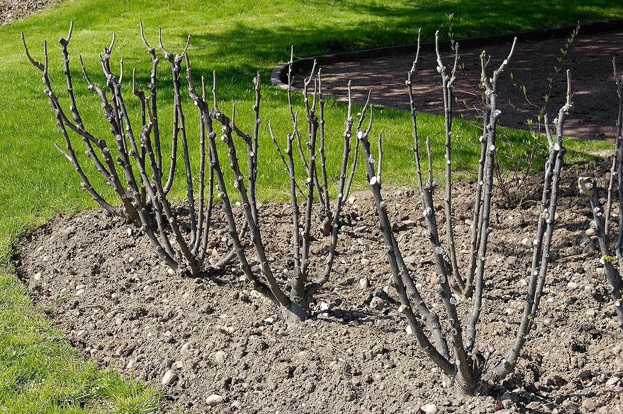 Arbustes taillés