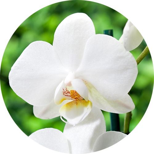Orchidée papillon phalaenopsis