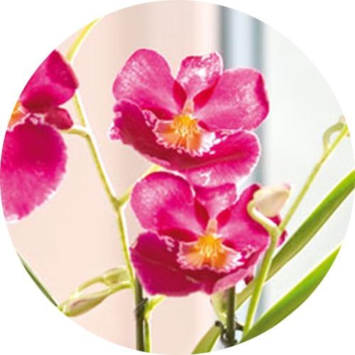 Orchidée pensée miltonia