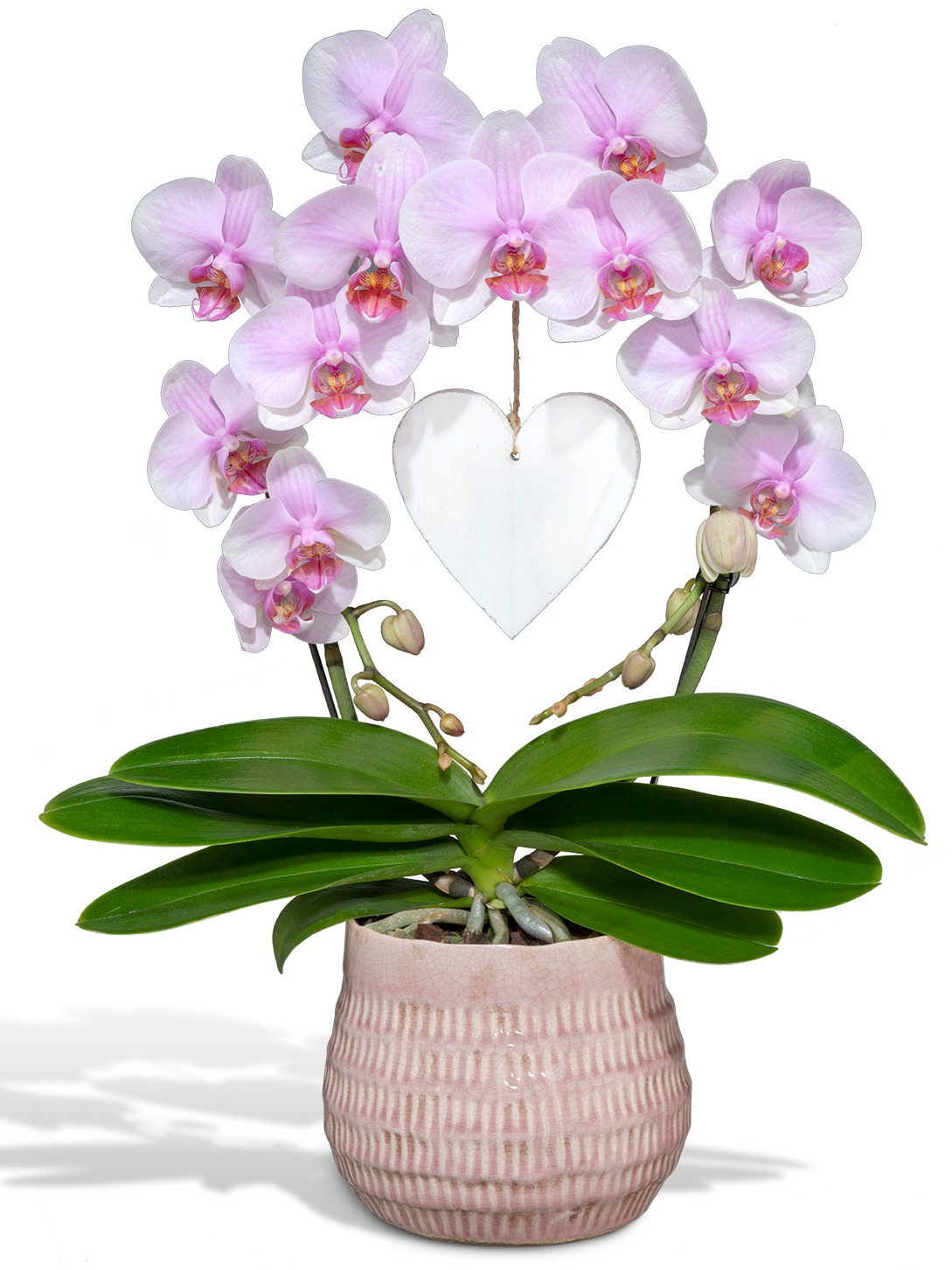 Orchidée phalaenopsis miroir