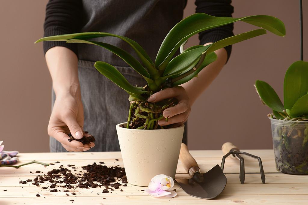 Orchidée dans pot