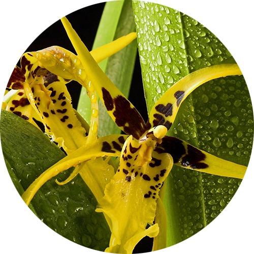 Orchidée araignée brassia