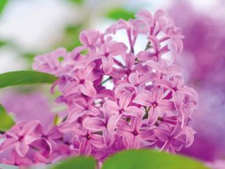 Lilas Syringa vulgaris rose au jardin