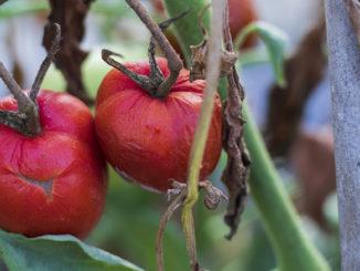 Mildiou sur pied de tomates