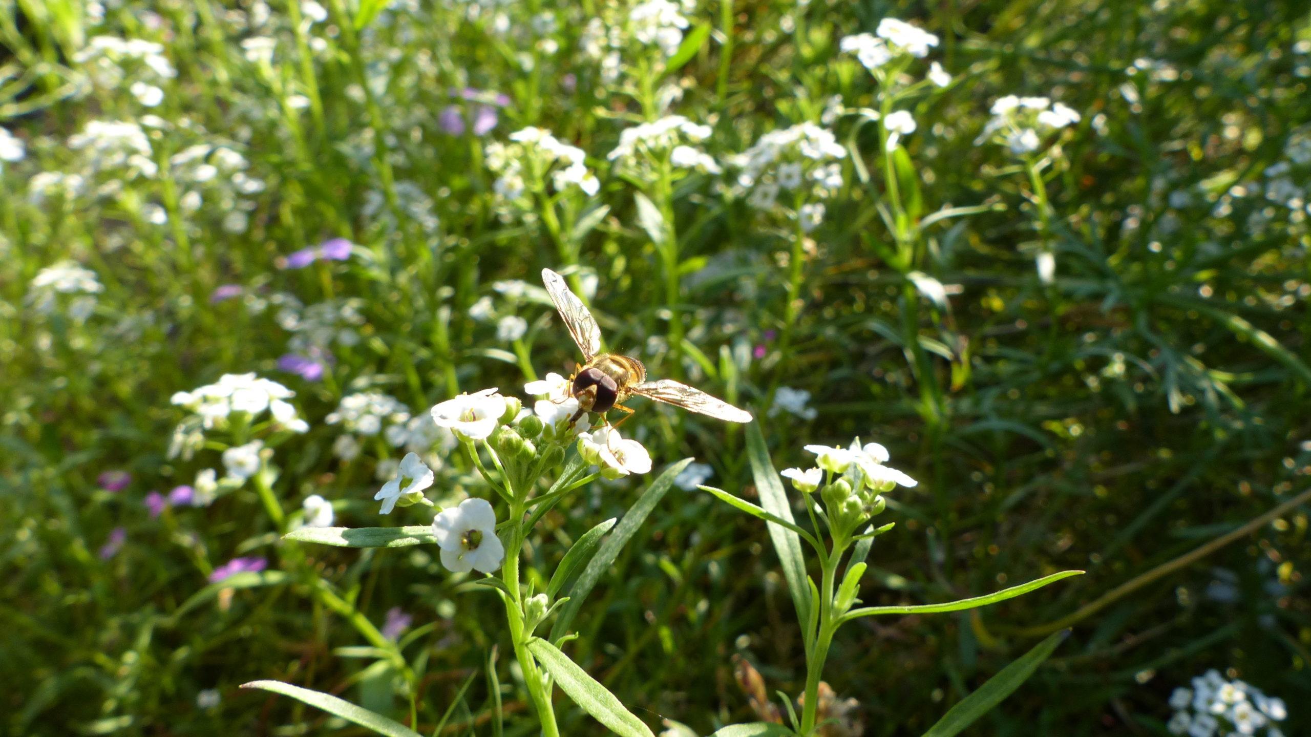 syrphe butinant une fleur
