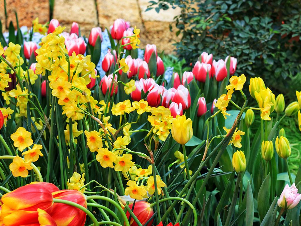 Tulipes et narcisses au jardin