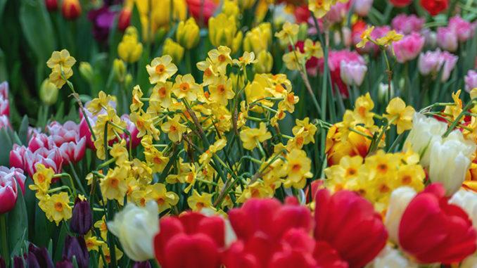 Tulipes-et-narcisses-en-massif