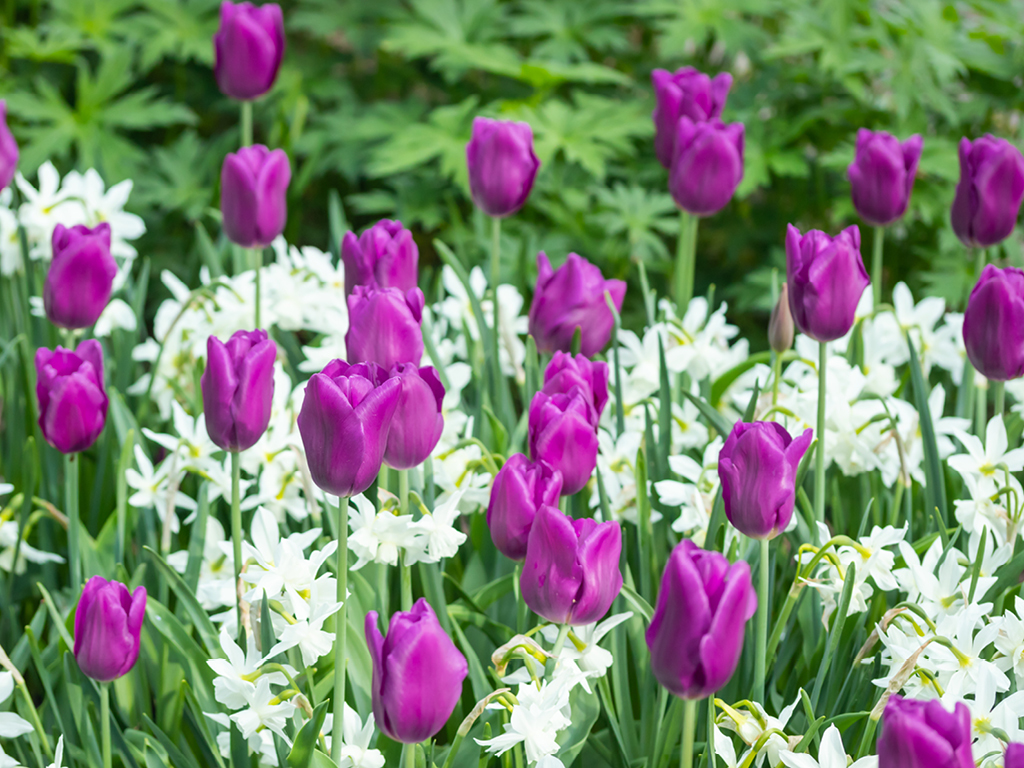 Tulipes violettes et narcisses blanches