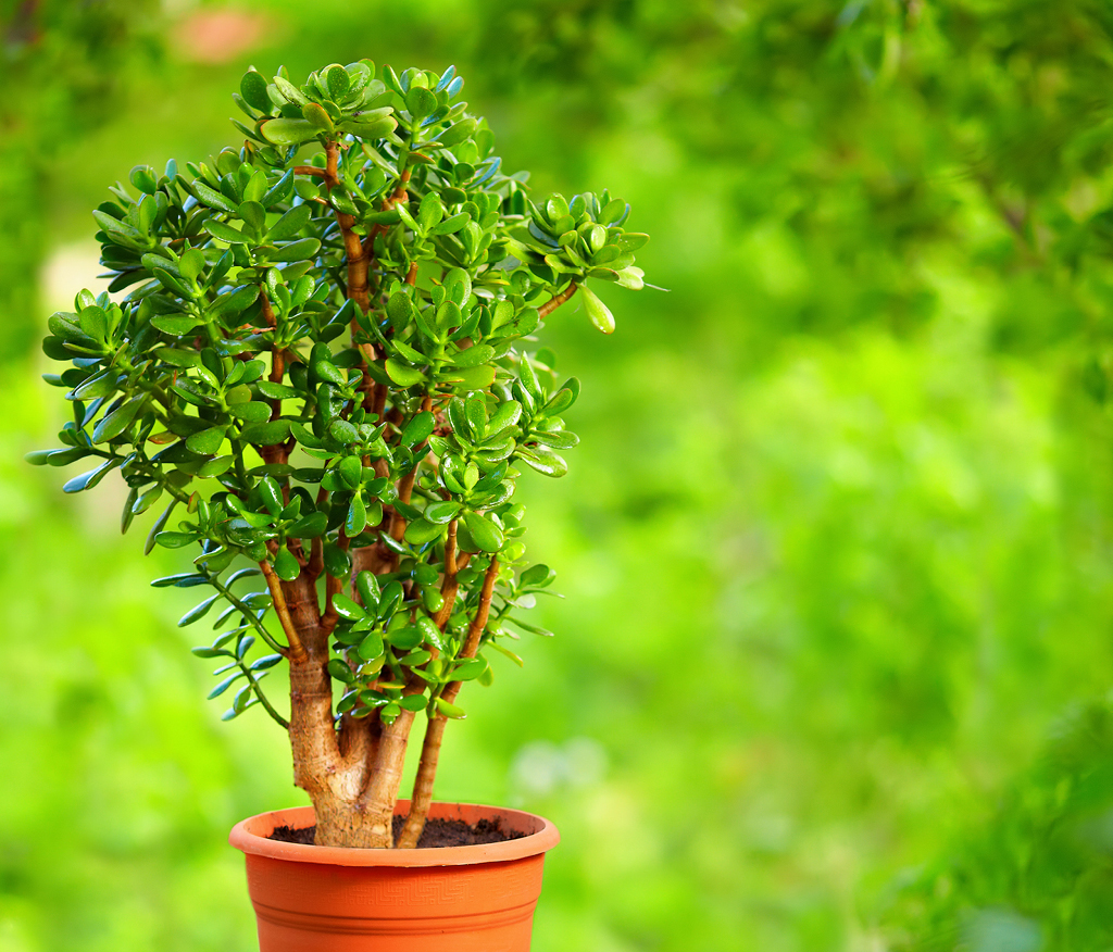 crassula en pot taille bonsaï