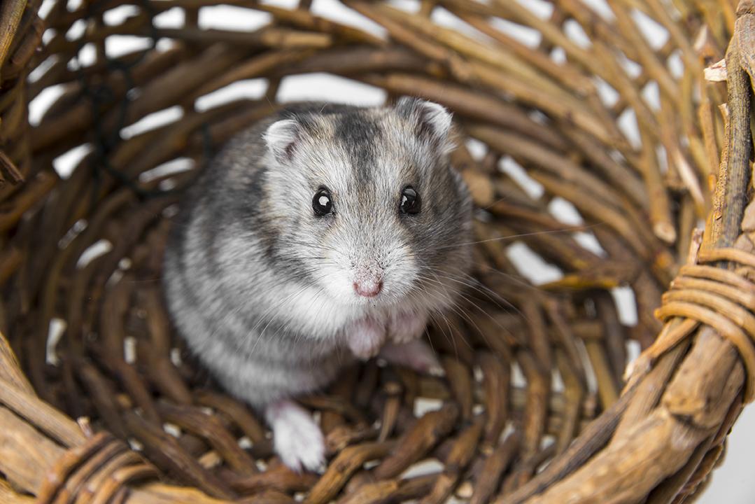 Un hamster dans un panier