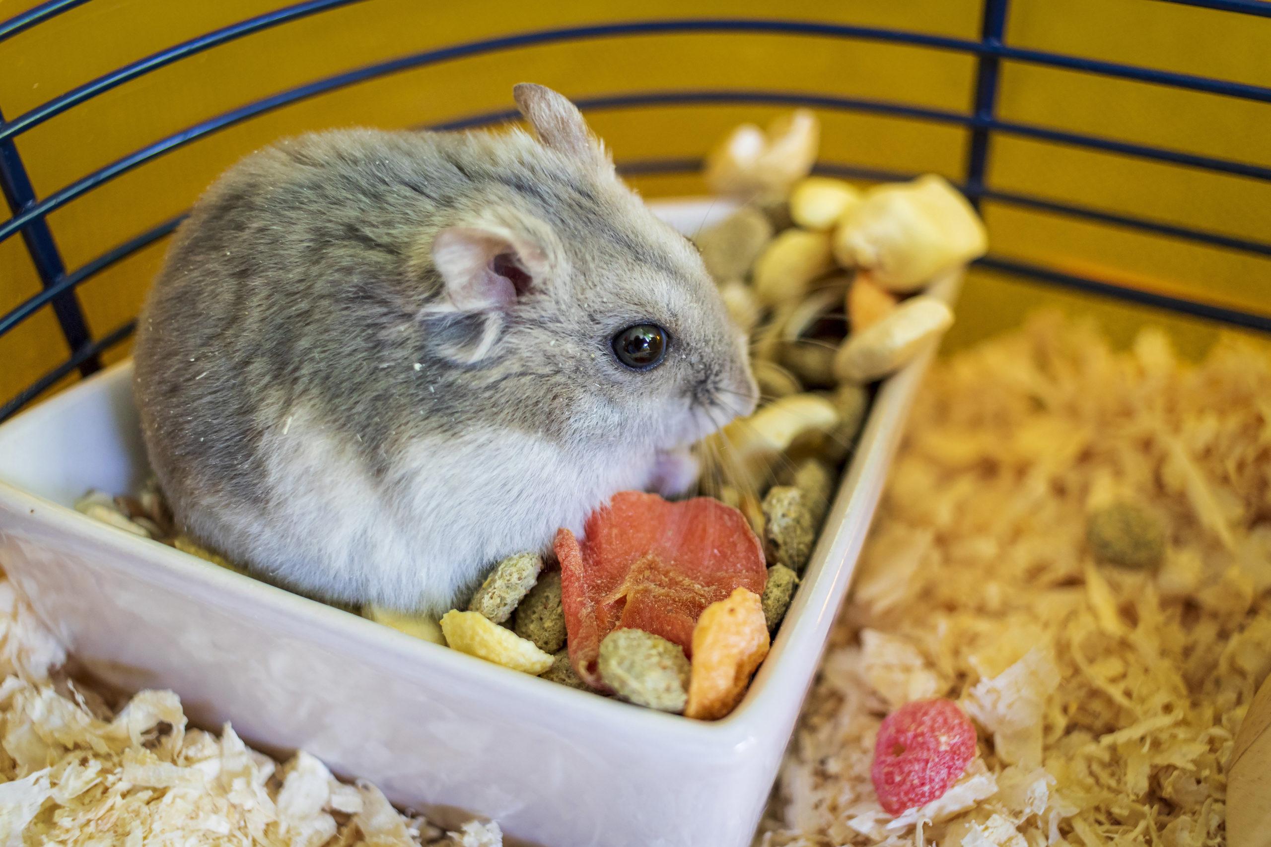 Un hamster russe qui mange