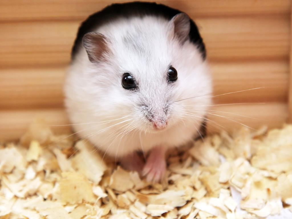 Hamster maison bois et litière naturelle