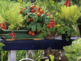 Légumes en pot sur balcon